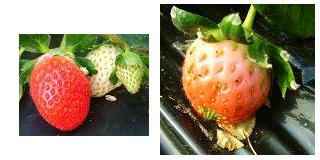 いろいろな形の苺