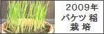 2009年バケツ稲栽培記録