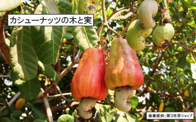 カシューナッツの木と実