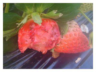 狸に食べられた苺