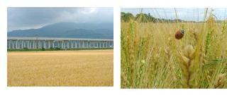 刈り取り間近の麦畑