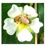 苺ハウス内の蜜蜂