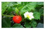 古賀農園 無農薬赤く熟した苺