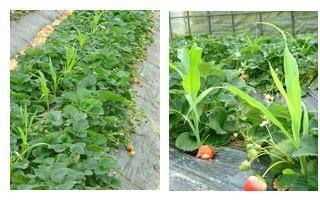 苺畑に植えられたとうもろこし
