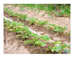 定植された苺の苗