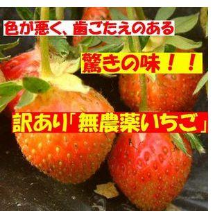 古賀農園訳あり無農薬苺!色が悪く歯ごたえのある苺 しかし常識がひっくり返る「驚きの味」